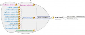 Phylogenie_Spongiaires