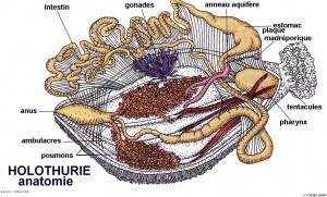 Holothurie Anatomie