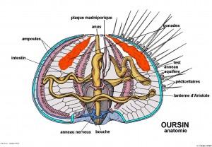 Oursin Anatomie