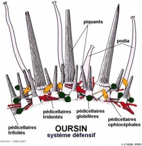 Oursin système défensif