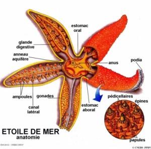 Anatomie Echinodermes